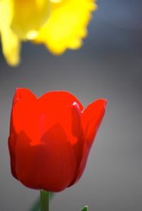 secret life of tulips